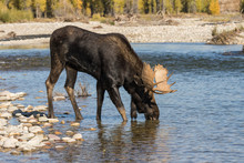 Bull Moose Drinking During The Fall Rut