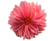 Dahlia Flower White Background.