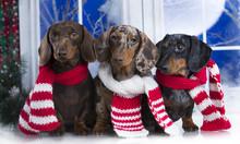Dachshund  Christmas Dog