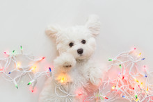 Maltese Puppy Wrapped In Christmas Lights.