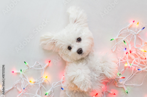 Fényképezés  Maltese puppy wrapped in Christmas lights.