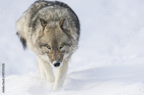 Fototapeta  Timber wolf in winter