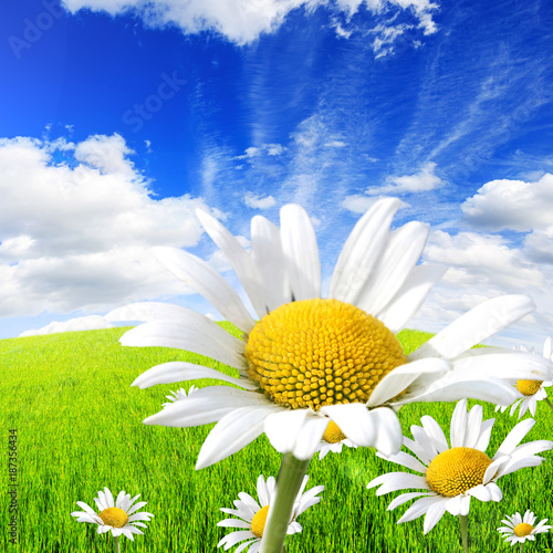Fotomurales - Wild daisies in the green field with a blue sky