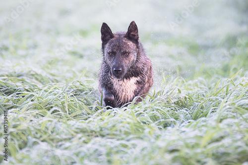 Foto  A brown dog runs through the wet green grass