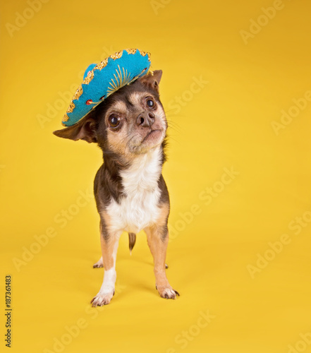 фотографія  cute chihuahua wearing a sombrero on an isolated yellow background