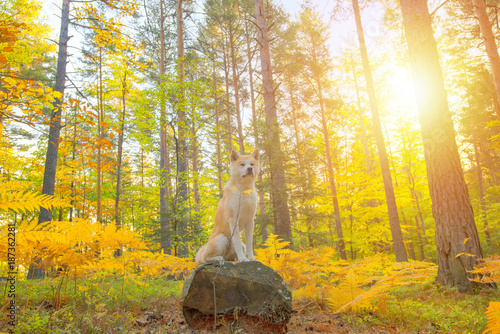 Photo Funny Japanese Dog Akita Inu puppy in autumn forest
