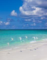 Maledivenstrand mit Seeschwalben