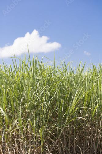 Fotografie, Obraz  Sugar Cane in a Louisiana Field