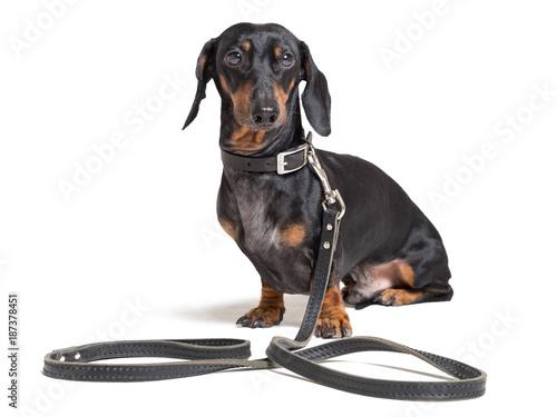 Stampa su Tela Dog dachshund, black and tan, sitting in a collar on a leash waiting for a walk,