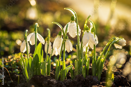 Staande foto Lente Snowdrops first spring flowers.