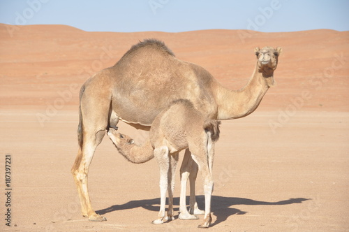 In de dag Kameel Mother and Baby Camel