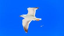 Herring Gull, Larus Argentatus...
