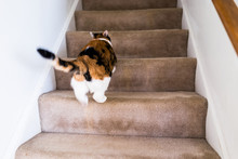 Calico White And Ginger Cat Ru...