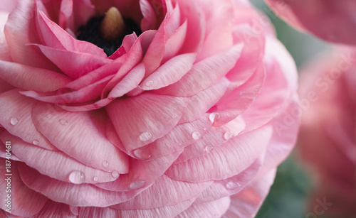 pink ranunculus petals with water droplets