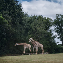 Three Giraffes In Front Of Trees