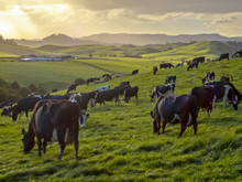 Grazing Cows In Green Meadow O...