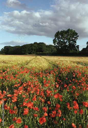 Wild poppies growing beside a field of Barley at sunset