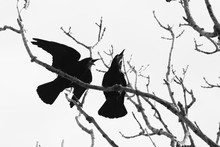 Rooks Up In A Tree In Early Spring