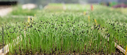 Close-up of growing grass seedlings