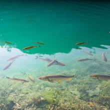 Group Of Fish Swimming Underwa...