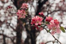 Crabapple Tree Flowers