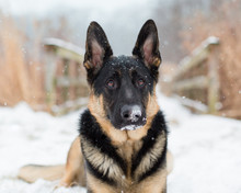 German Shepherd Dog In Snow