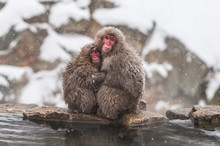 Snow Monkeys At Jigokudani Mon...