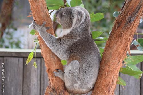 Printed kitchen splashbacks Australia koala