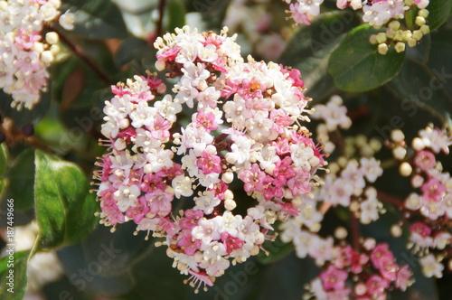 Une fleur rose et blanche - Vue de face – kaufen Sie dieses Foto und ...