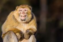 Barbary Macaque Grinning At The Camera
