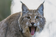 Eurasian Lynx Yawning While Looking At The Camera