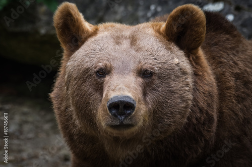 Portrait of a European brown bear