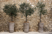 Olive Trees In Pots Against A ...