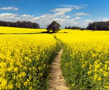 Field Of Rapeseed, Canola Or C...