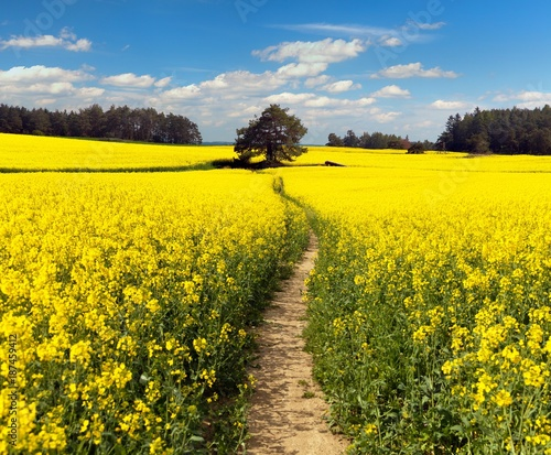 Photo Stands Road in forest Field of rapeseed, canola or colza with path way