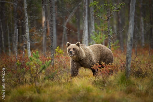 Fotomural  Ursus arctos