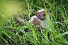 European Weasel In High Grass