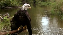 Old Bald Eagle Sitting In A Wo...