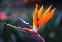 Beautiful Bird Of Paradise Flo...