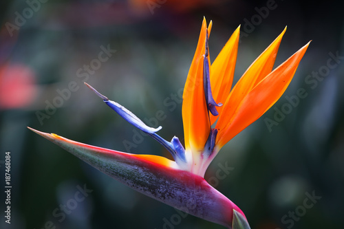 beautiful bird of paradise flower background.