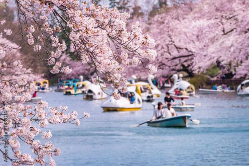 Tuinposter Kersenbloesem 井の頭恩賜公園の桜