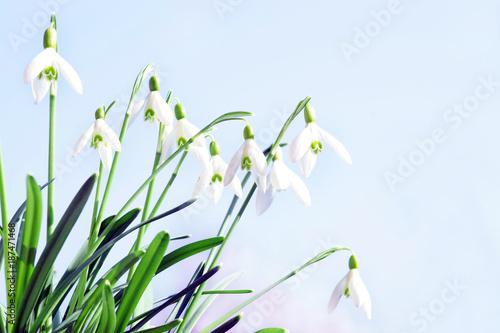 Plakat Wiosna, przebiśnieg, przebiśnieg, wiosna, wiosna posłaniec, niebo, kopia przestrzeń, miejsce