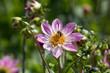 Rosa Blüte mit Biene