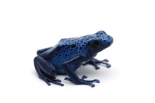 Blue Dart Frog Isolated On Whi...