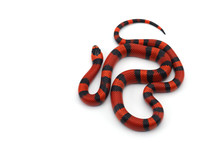 Red-black Milk Snake Isolated ...