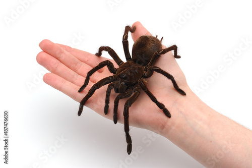 Black Goliath Birdeating Spider Sitting on Male Hand Fotobehang