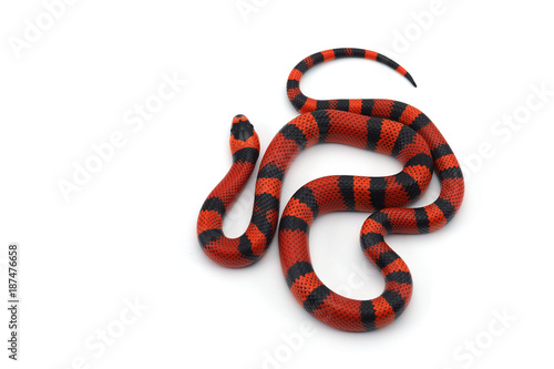 Fototapeta Red-black Milk snake isolated on white background