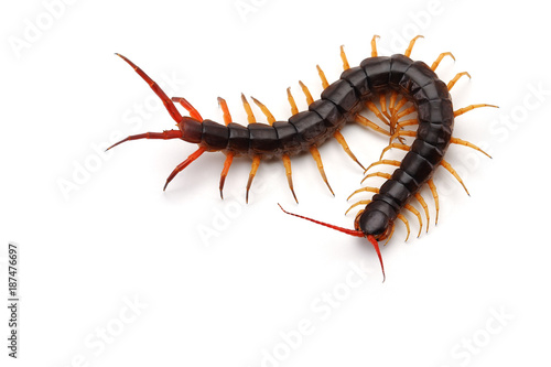 Giant centipede isolated on white background Canvas Print
