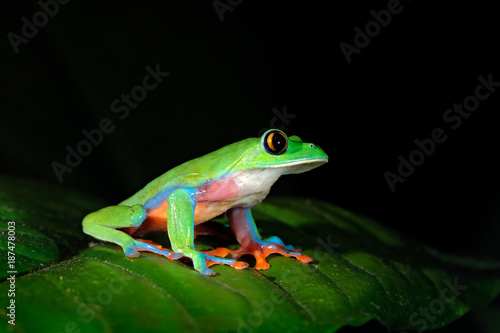 Tuinposter Kikker Agalychnis annae, Golden-eyed Tree Frog, green and blue frog on leave, Costa Rica. Wildlife scene from tropic jungle. Forest amphibian in nature habitat. Frog sitting on the green leave, night America