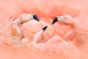 Fototapeta Ptaki Flaningo fight. American flamingo, Phoenicopterus rubernice, pink big bird, dancing in water, animal in the nature habitat, Cuba, Caribbean. Wildlife scene from nature. Flock of birds.